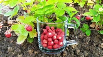 een glas met aardbeien staat op het tuinbed. foto