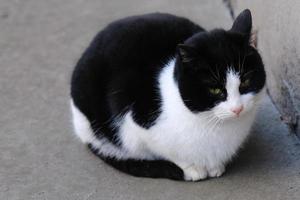 zwart-wit gestreepte straatkat met groene ogen portret close-up foto