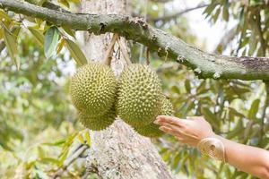 hand aanraken van durian op de boom, thailand foto