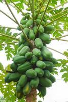 papaya op de boom op de achtergrond van bewolkte hemel foto