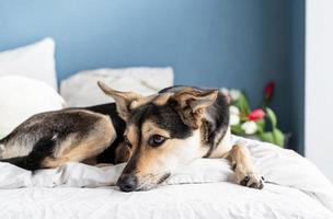 schattige hond liggend op het bed met een boeket tulpen op de achtergrond foto