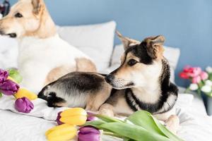 schattige hond liggend op het bed met een boeket tulpen foto