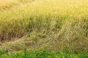 rijstplant valt naar beneden vanwege harde wind foto