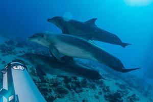 dolfijn zwemmen in de rode zee, eilat israël foto