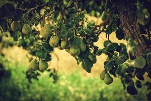 boom met groene peren foto