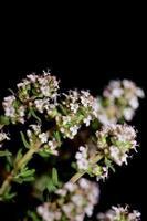 bloem bloesem close-up thymus vulgaris familie lamiaceae background foto