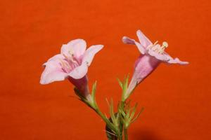 bloem bloesem close-up weigela florida familie caprifoliaceae foto