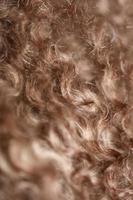 hond bruin krullend haren close-up lagotto romagnolo abstracte achtergrond foto