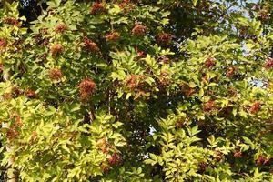 een boom met vlierbessen foto
