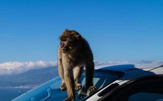 magot barbarijse apen sylvanus macaca aap in gibraltar foto