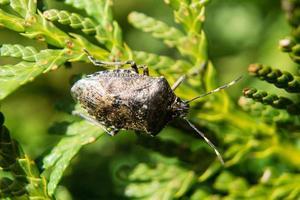 de grijze tuinwants genaamd raphigasternebulosa foto