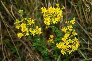 gele bloem senico jacobaea foto