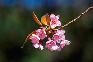 prachtige kersenbloesems foto