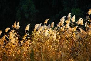 mooie plant riet flora in de natuur buiten uitzicht foto