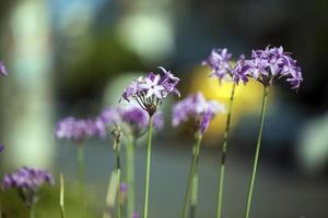 romantische natuurlijke flora paarse bloemen foto