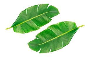 grote groene bananenbladeren van exotische palmboom op witte achtergrond. foto