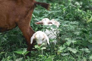 babygeiten worden geweid met gras op de boerderij foto