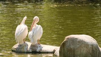 twee witte pelikanen foto