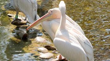 close-up van witte pelikaan foto