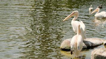 witte pelikanen aan het water foto