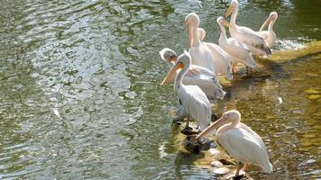 groep witte pelikanen aan het water foto