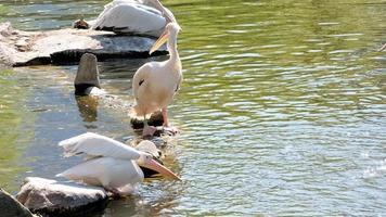 groep witte pelikanen op zoek naar voedsel foto
