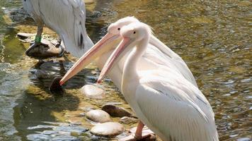 groep witte pelikanen foto