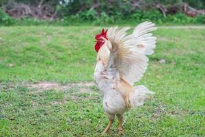 witte kip wandelen in de natuur boerderij. foto