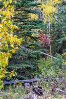 weduwe maker. Bow Valley-wildernisgebied, Alberta, Canada foto