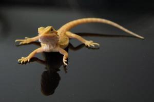 bebaarde draak op de grond met wazige achtergrond foto