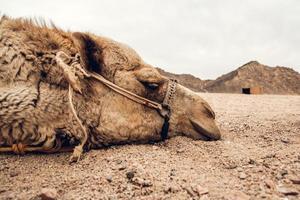 hoofd van een kameel liggend op het zand in de woestijn foto