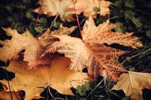 gele en rode herfstbladeren foto