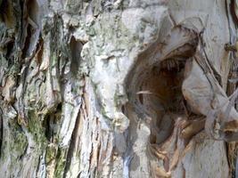 eucalyptus boomschors foto