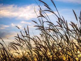 missie gras in het avondlicht foto