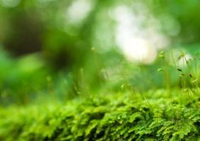 sporofyt van frisheid groen mos groeit in het regenwoud foto