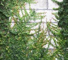 de groene klimplant foto