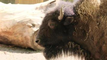 bizon eenzaam in de zomer notrils neus mond tong foto