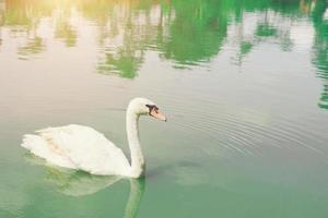 sierlijke zwaan drijvend in het smaragdgroene meer foto