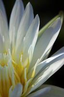 wit bloemblad en geel stuifmeel van waterlelie foto