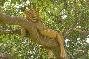jonge mannelijke leeuw in een boom foto