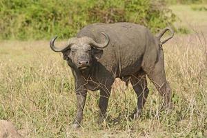 Kaapse buffel in het veld foto