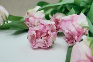 close-upmening van de roze bloemen van de pioentulp op witte background foto