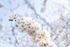 kersenbloesems bij getijdebassin. foto