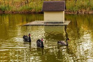 mooie zwarte zwanen zwemmen langs de oevers van een kleine rivier foto