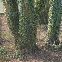 groene klimop plant op boom foto