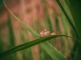 slak in schelp kruipend op gras of riet van maïs, zomerdag in de tuin foto