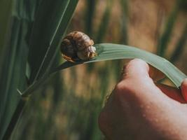 mans hand houdt een groen blad vast waarop een grote slak kruipt foto