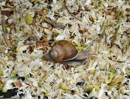 grote tuinslak in schelp kruipend op natte weg, haast je naar huis foto