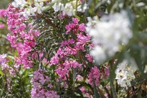 kleurrijke tuin op een zomerhuis op het eiland skopelos, griekenland. foto