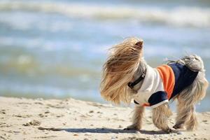 yorkshire terrier wandelingen aan de kust foto